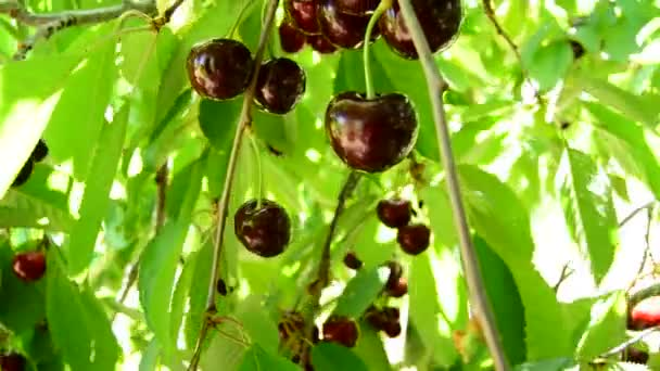 Bunch of red cherries fruit hanging at branch of a cherry tree a sunny day, tilt