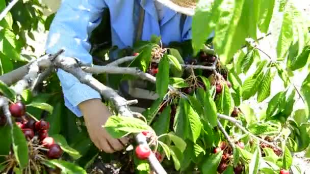 Peasant woman picking cherries by hand in a agricultural plantation