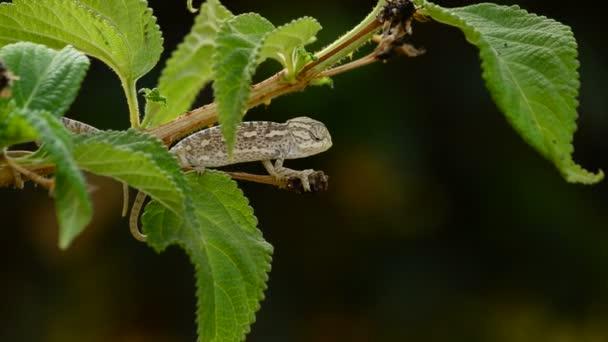 Malé dítě chameleon větve
