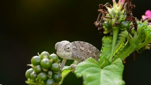 Chameleon obecný Baby nebo středomořské Chameleon dívá větve - Chameleon chameleon