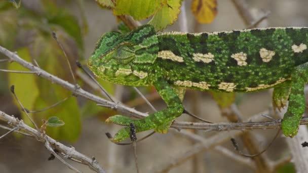 Chameleon obecný rozhlížel ve větvi