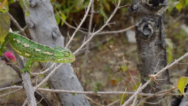 Zelený chameleon obecný lov kriket