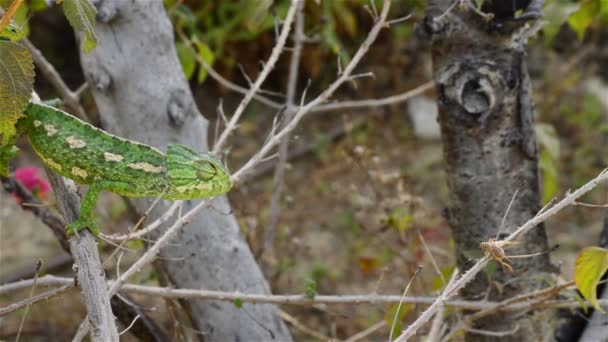 Zelený chameleon obecný lov kriket s svůj dlouhý jazyk
