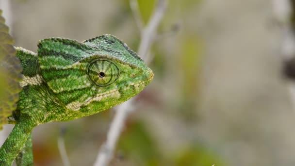 Šéf zeleného chameleona rozhlížel ve větvi