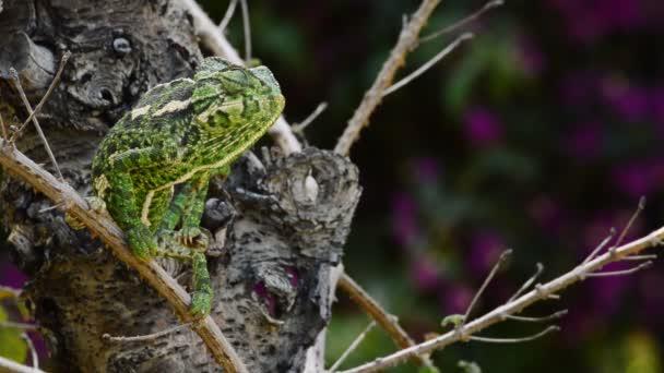 Zelený chameleon obecný rozhlížel ve větvi