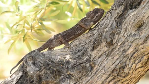 Chameleon obecný pomalu chodit na stromě, detail