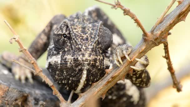 Chameleon obecný v pobočce a slunečný den