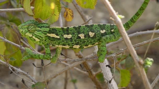 Společné Chameleon nebo středomořské Chameleon větve - Chameleon chameleon