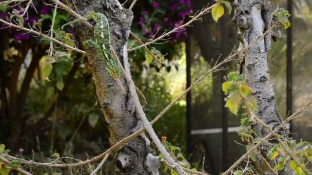 Common Chameleon or Mediterranean Chameleon hunting with his long tongue