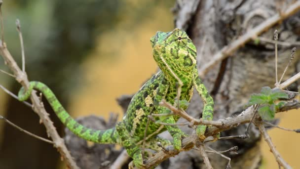 Common Chameleon or Mediterranean Chameleon in a branch
