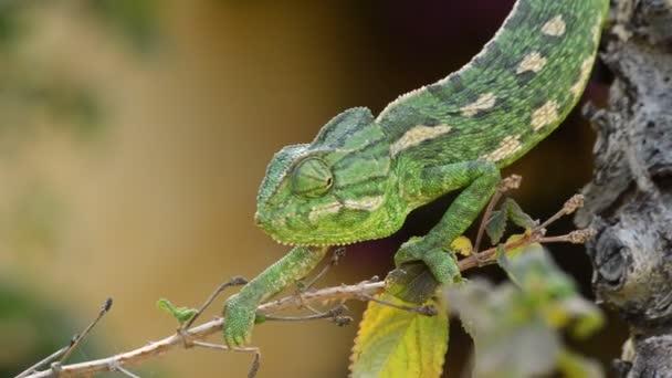 Zelený chameleon obecný chodit pomalu ve větvi