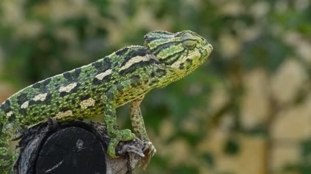 Společné Chameleon nebo středomořské Chameleon pomalu chodit na stromě
