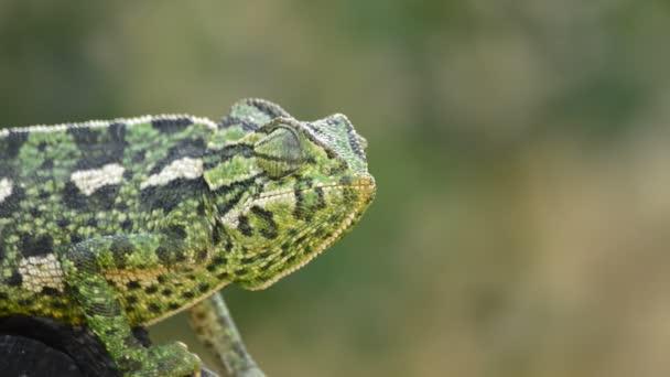 Společné Chameleon nebo středomořské Chameleon rozhlížel ve větvi