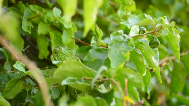 Zelený chameleon obecný maskovaný chůzi ve větvi