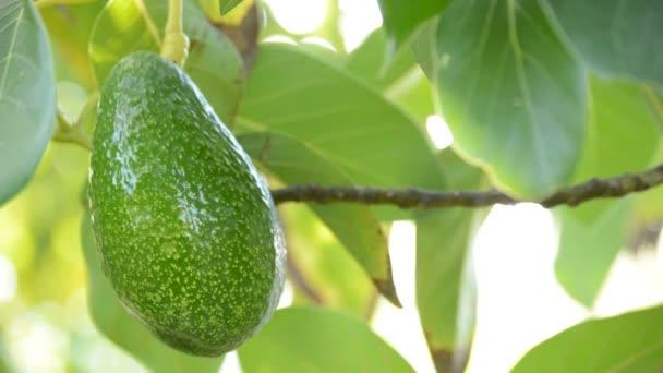 Avokádó gyümölcs lógott egy avokádó fa ága