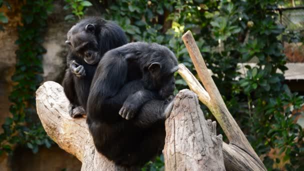 Chimpanzee monkeys sitting in a tree - Pan troglodytes