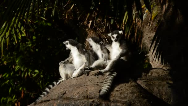 Ring tailed lemurs sunbathing. Lemur catta