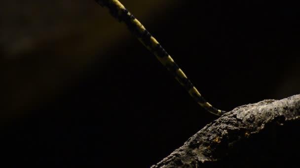Tail of diamond python snake passing in close up - Morelia spilota