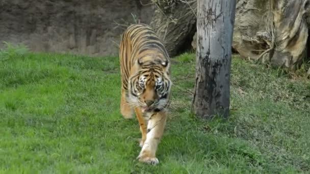 tigre di Sumatra - panthera tigris sumatrae
