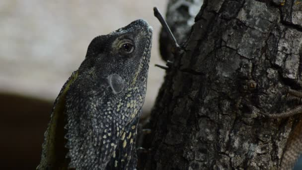 Chlamydosaurus or Frilled Neck Lizard in a natural park - Chlamydosaurus kingii