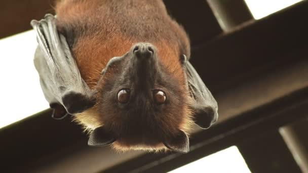 Indische Flughund Bat zitternd und hängen auf dem Dach - Pteropus giganteus