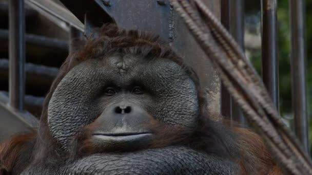 männlicher Orang-Utan-Affe - Pongo pygmaeus