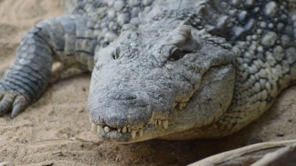 Krokodýl nilský v přírodním parku - Crocodylus niloticus