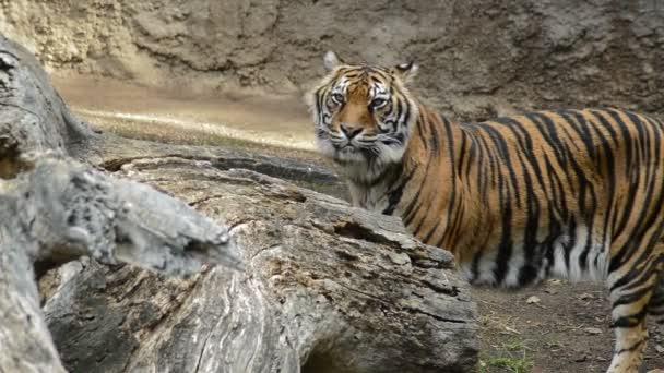 Egy természeti park - Panthera tigris sumatrae, Szumátrai tigris