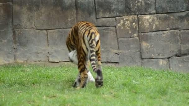 Procházky v přírodním parku - Panthera tigris sumatrae tygr sumaterský