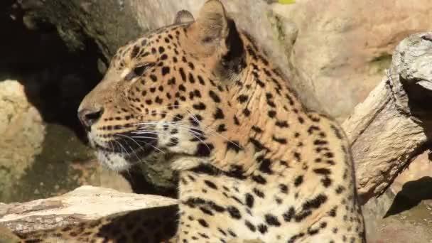 Sri Lankan leopard sunbathing in a natural park - Panthera pardus kotiya