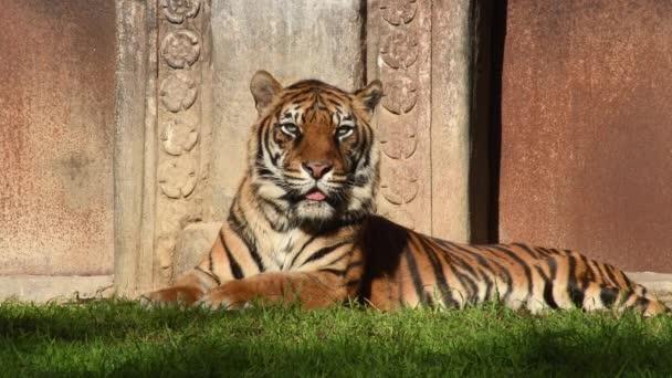 Szumátrai tigris napozás egy természetes parkban - Panthera tigris sumatrae