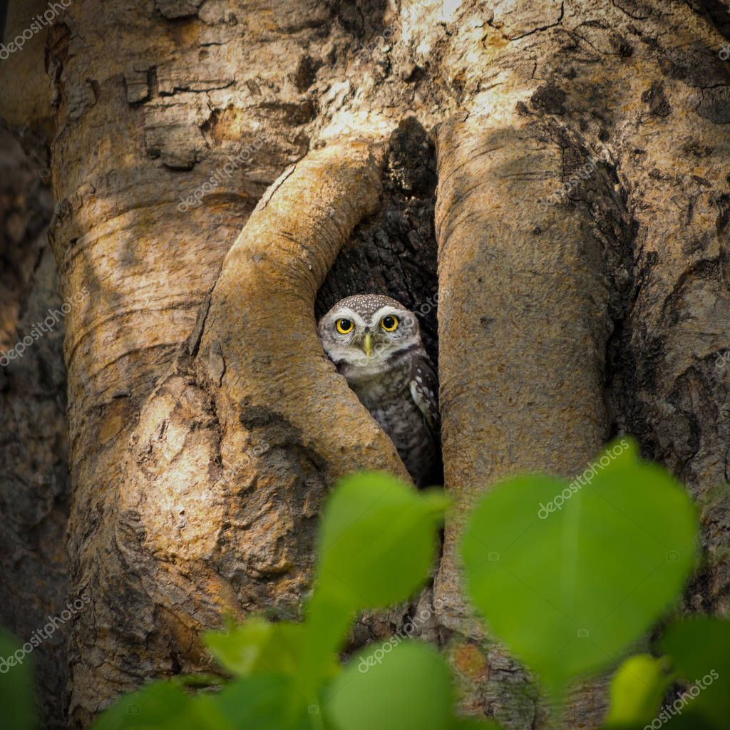Little Owl is glaring