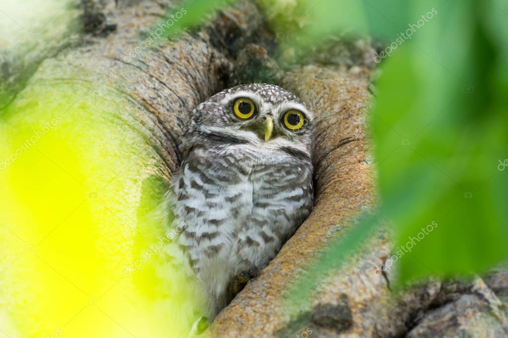 Cute little owl is glaring