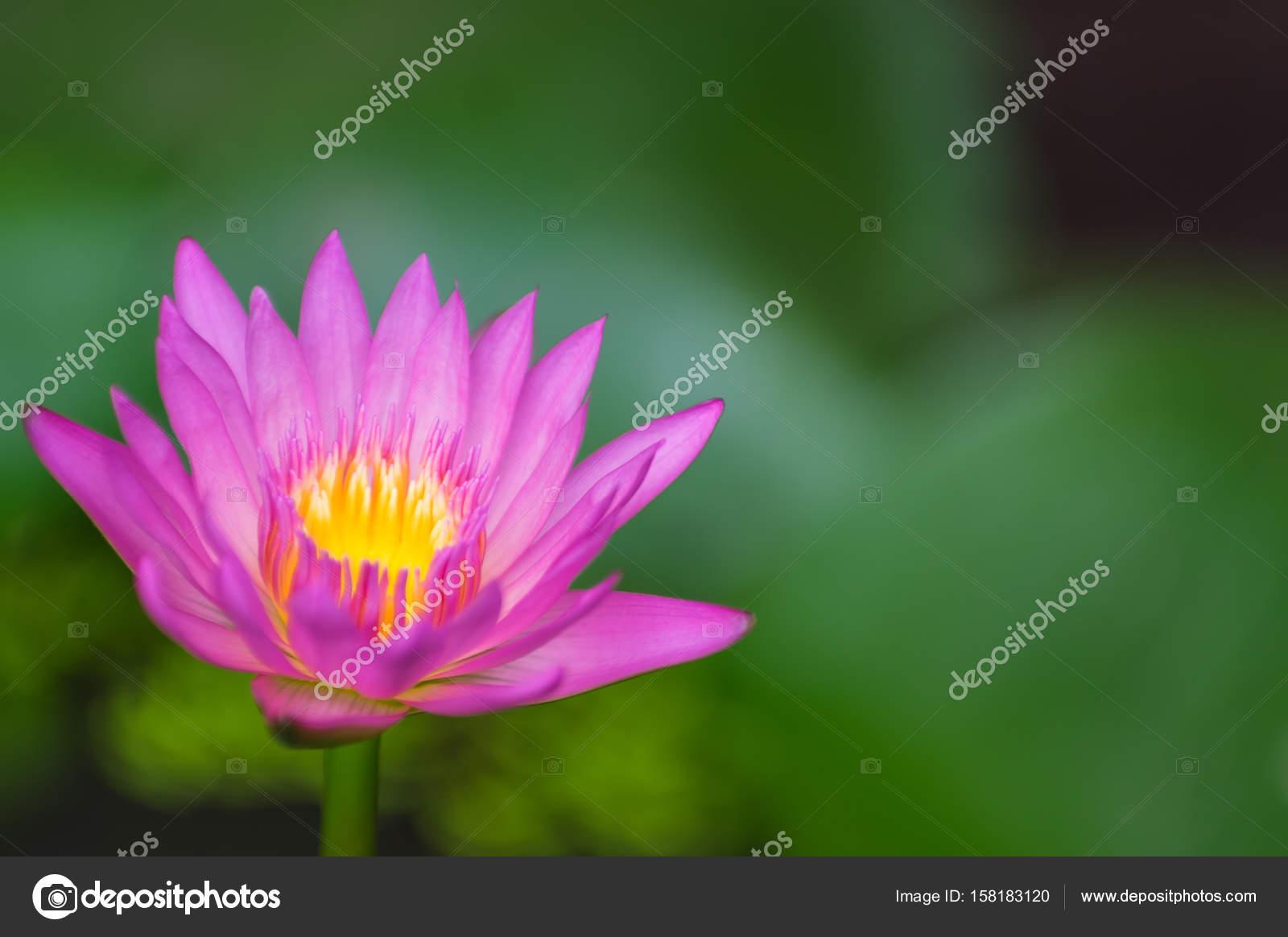 Asian Lotus Flower Stock Photo Nirutdps 158183120