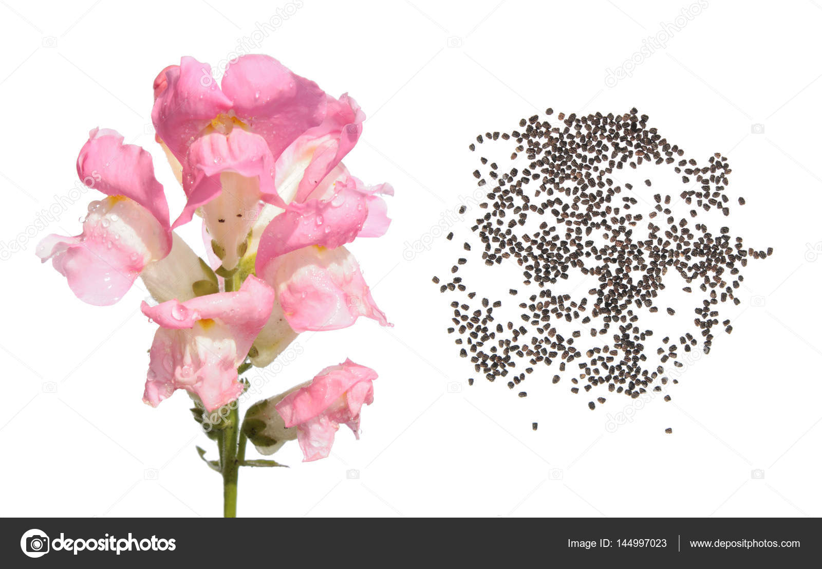 Pink Garden Snapdragon Flower And Seeds Isolated On White