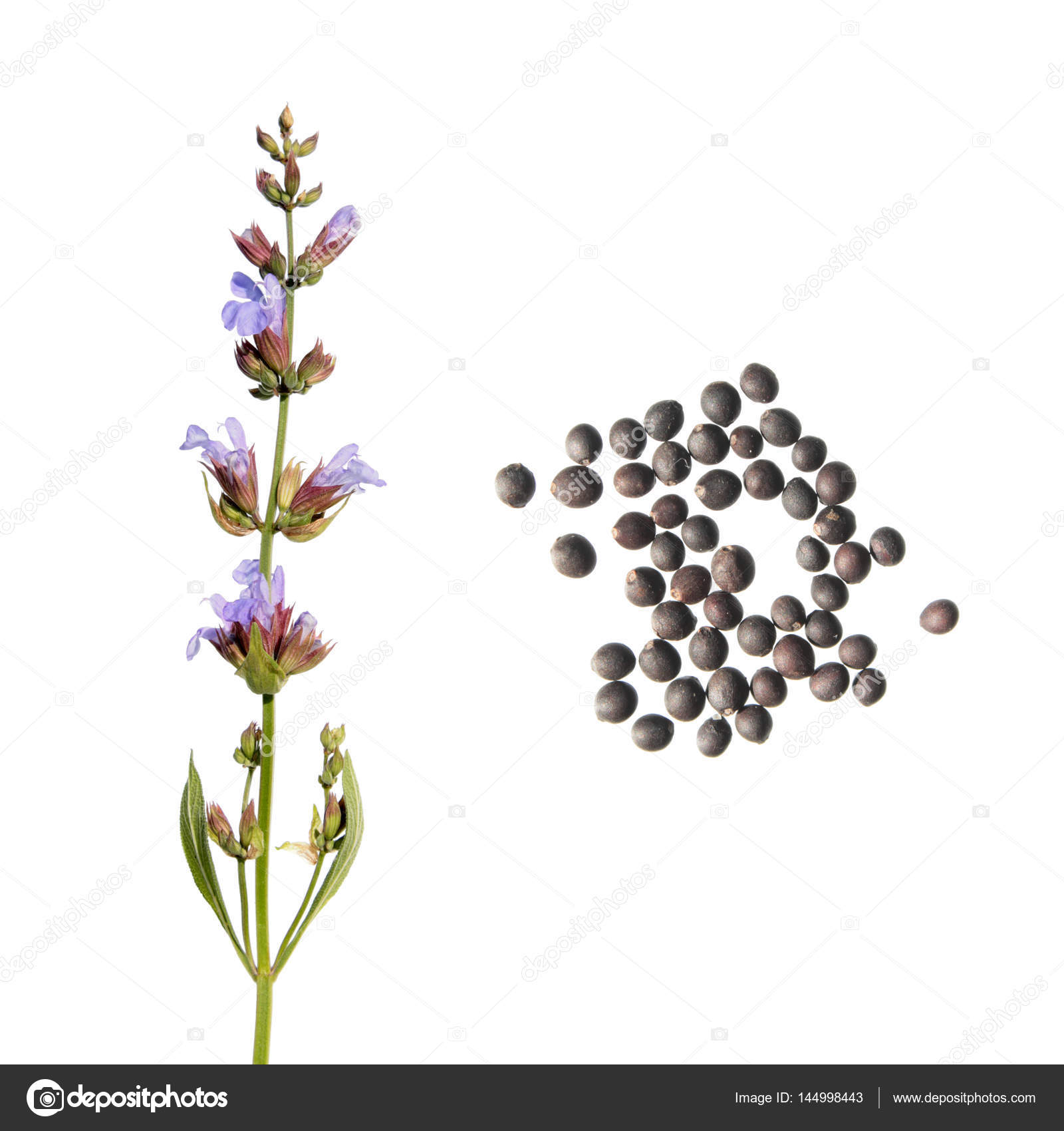 Common Sage Flower And Seeds Isolated On White Background Seeds Of