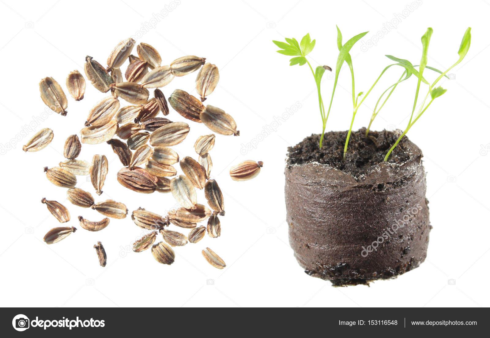 любисток семена