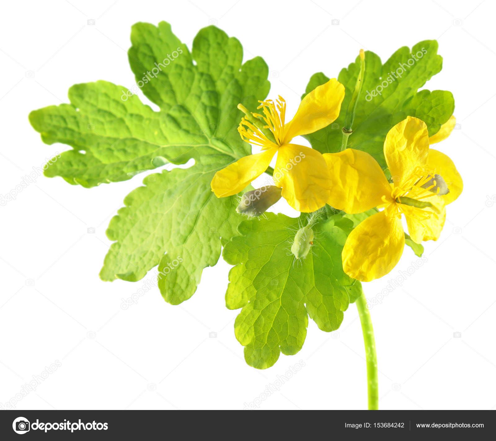 Celidonia Planta Medicinal Mexico Venta Celidonia O Tetterwort