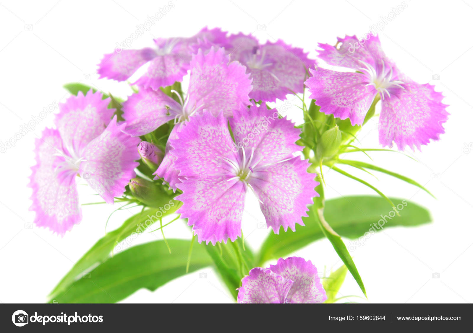 Pink Sweet William Flowers Dianthus Barbatus Isolated On White