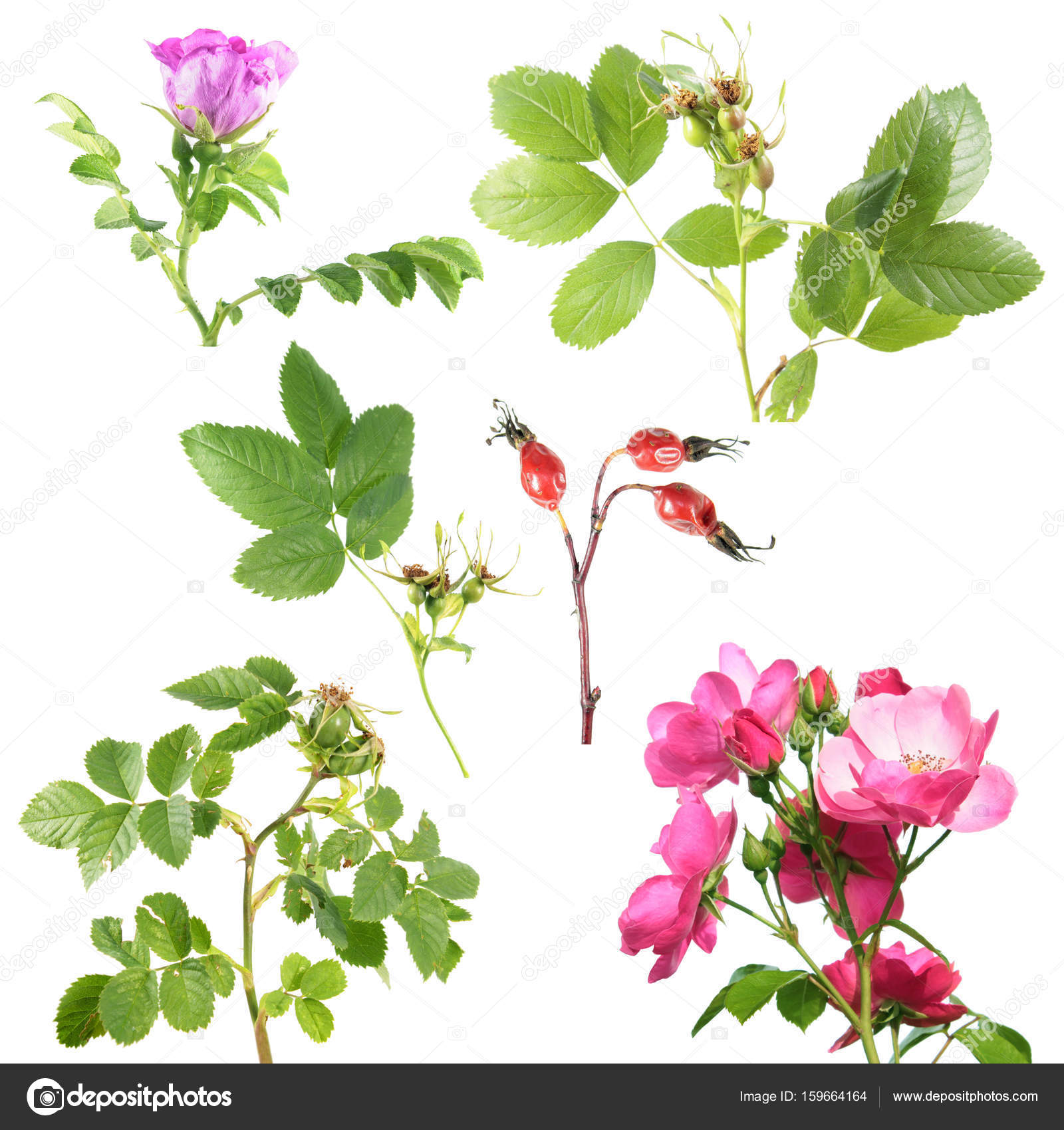 Different types of rose with flowers and rose hips isolated on white different types of rose with flowers and rose hips isolated on white background branch of rose with green leaves and rose hips photo by kazakovmaksim mightylinksfo