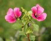 Vhodná nebo rose mallow Růžové květiny v zahradě