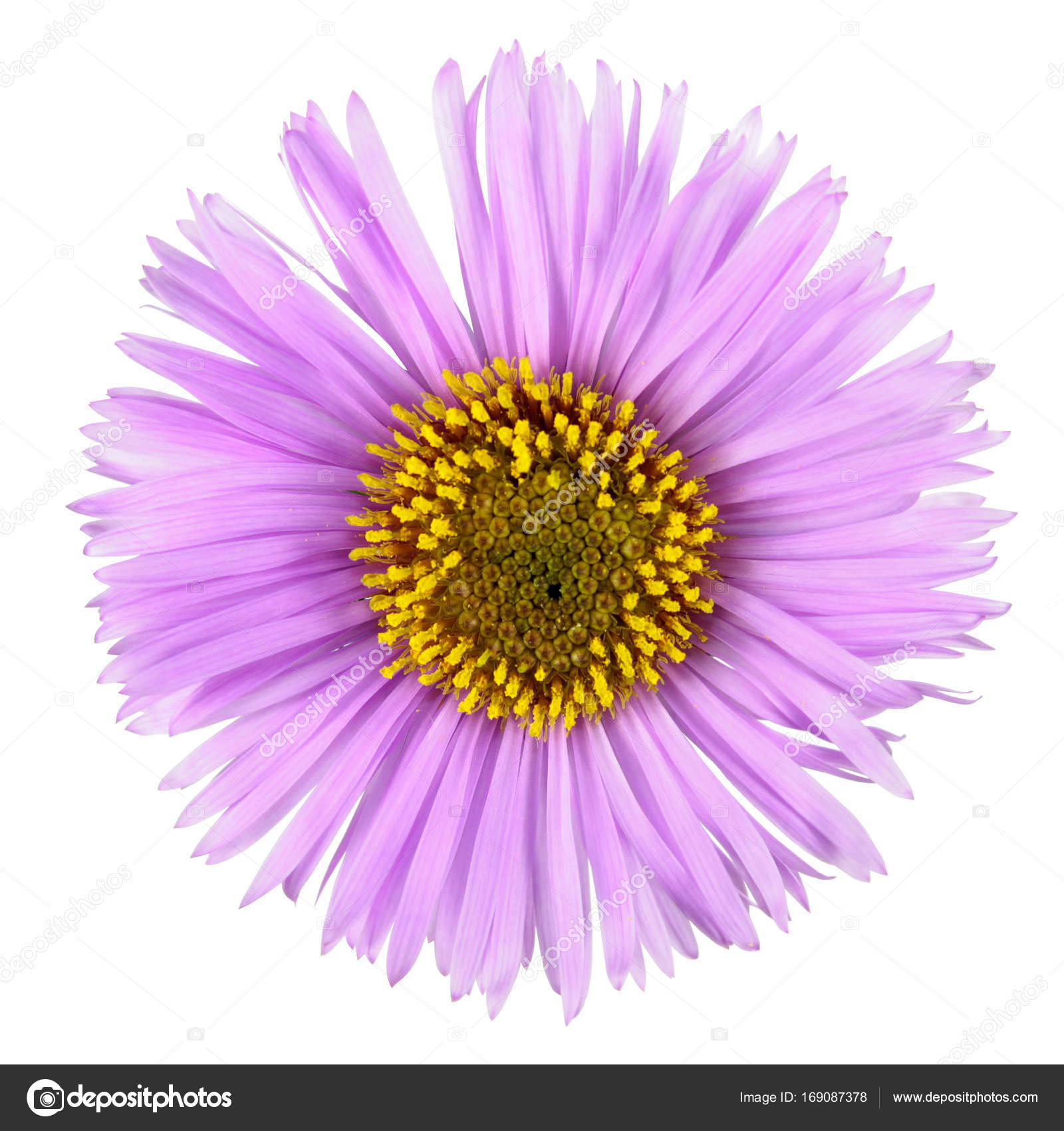 Pink flower with long petals isolated on white background pink pink flower with long petals isolated on white background pink aster flower with yellow center mightylinksfo