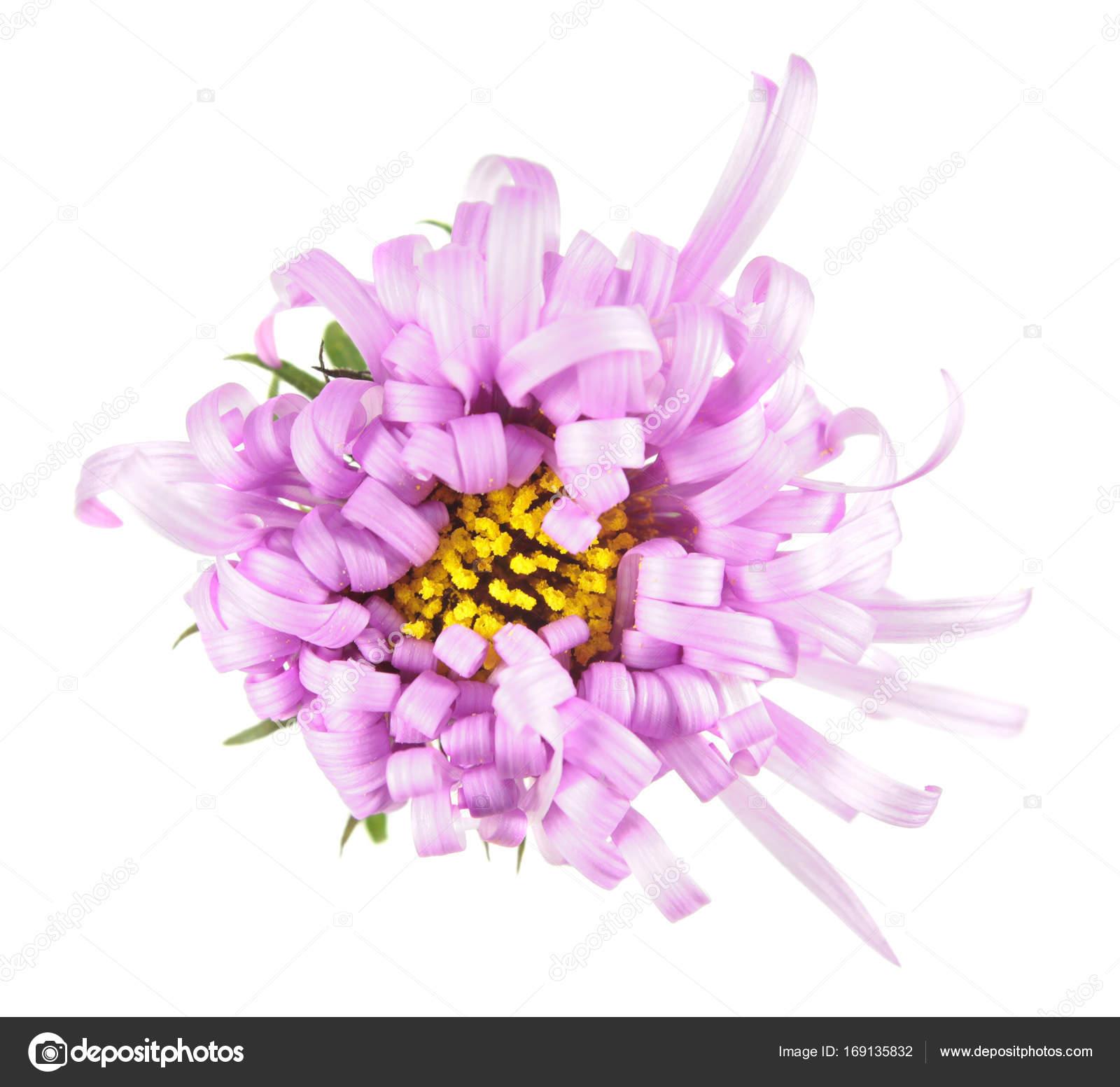 Delicada Flor Rosa Com Pétalas Encaracoladas Isolado No Fundo Branco