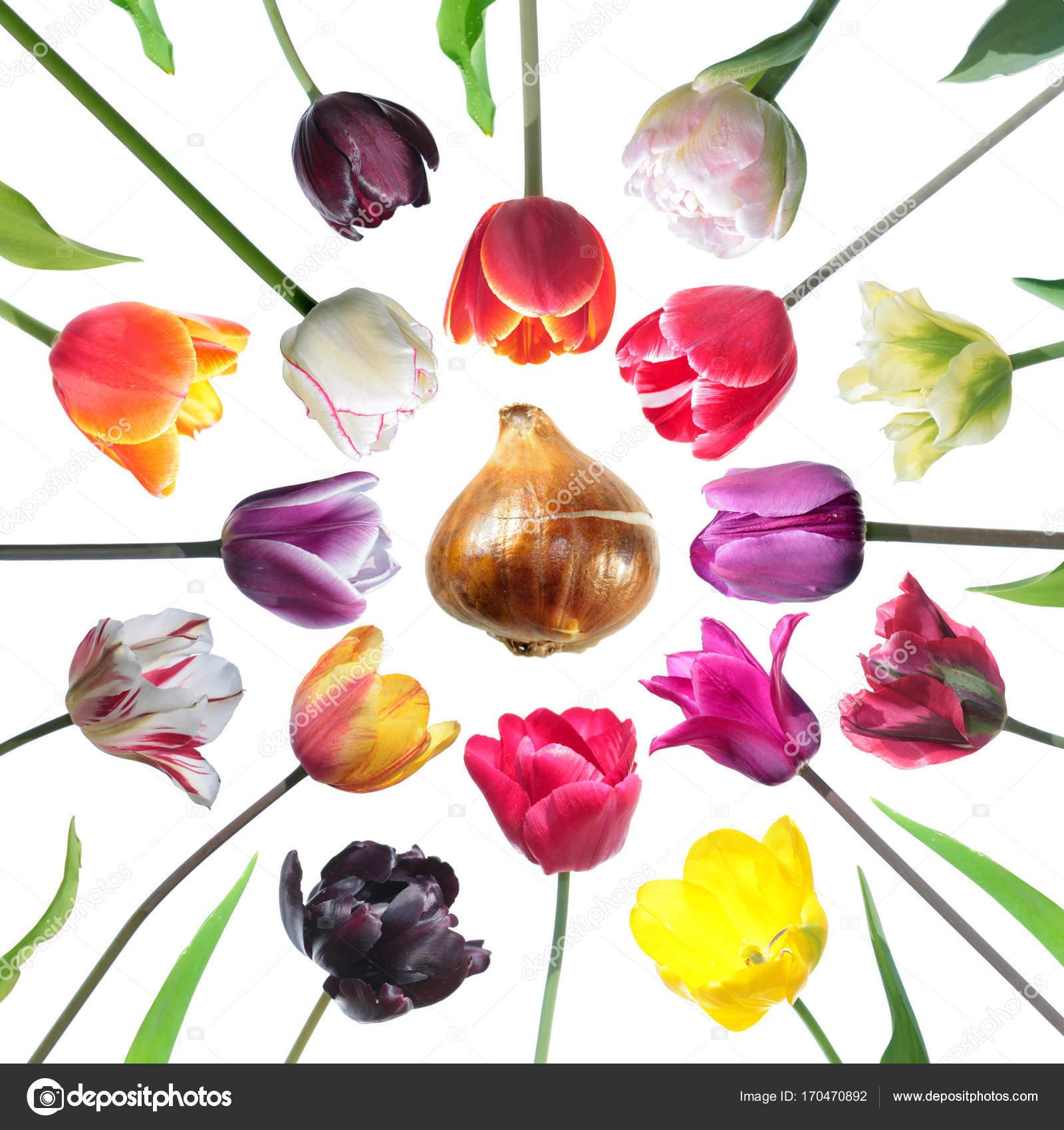 Satz von Tulpe Blumen in verschiedenen Farben mit Tulpe Zwiebel und ...