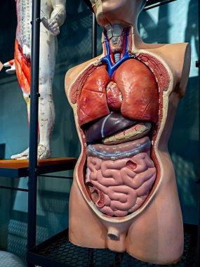 Anatomy human body model on shelf. Part of human body model with