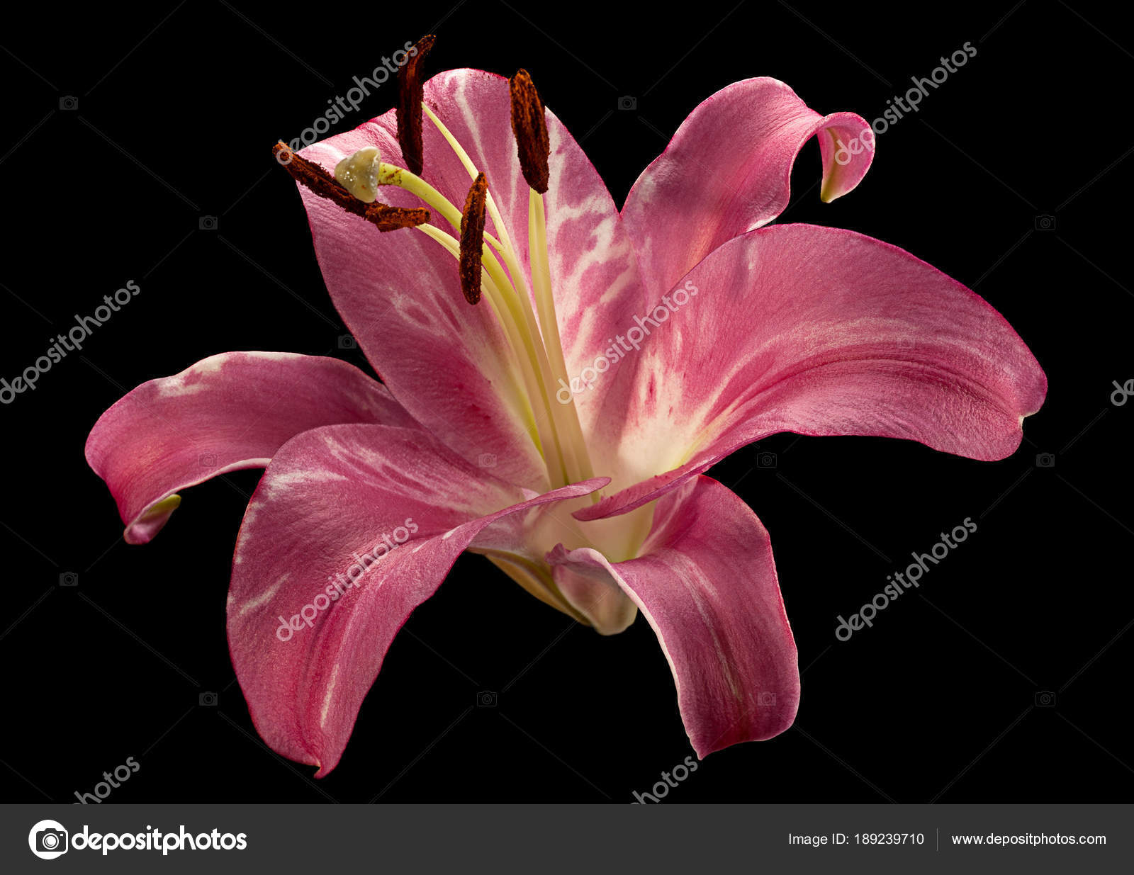 Pink lily flower on black stock photo shance2018 189239710 pink lily flower on black stock photo izmirmasajfo