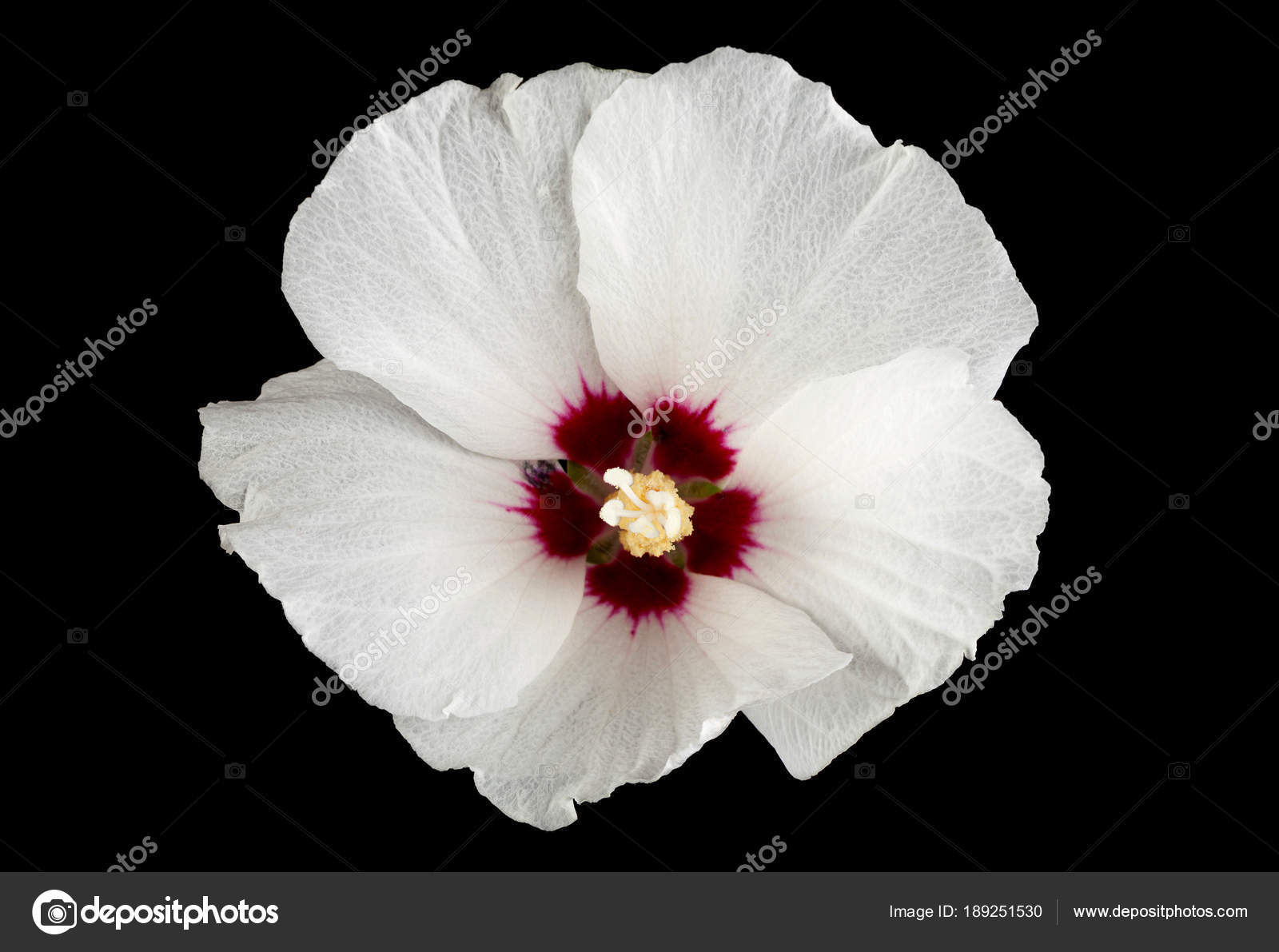 Hibiscus flower on black stock photo shance2018 189251530 hibiscus flower on black stock photo izmirmasajfo