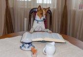 Portrét, chytrá basenji pes čtení velké knihy zatímco sedí na židli u stolu