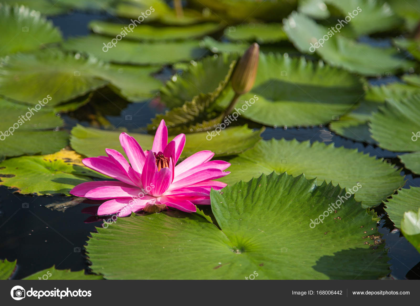Lotus flower in pond at marina bay front singapore stock photo beautiful lotus flower in pond at marina bay front singapore photo by geargodz izmirmasajfo