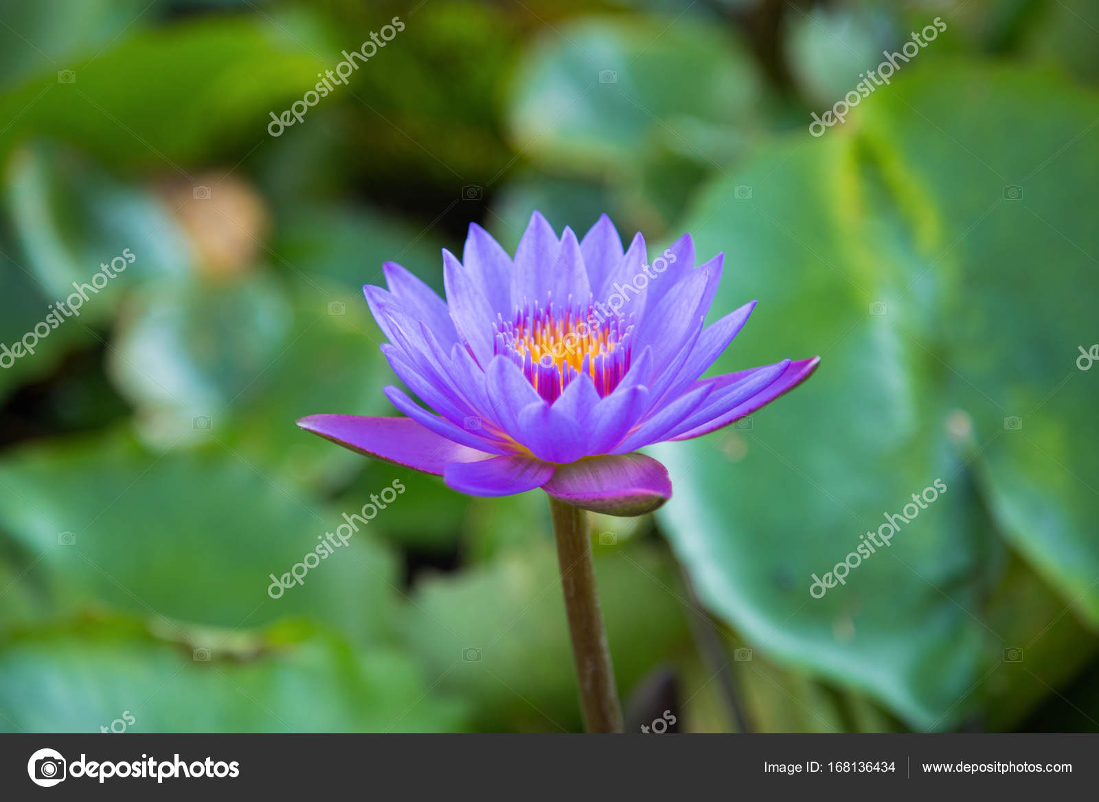Lotus flower in pond at marina bay front singapore stock photo beautiful lotus flower in pond at marina bay front singapore photo by geargodz izmirmasajfo Gallery